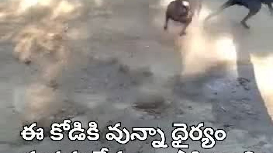 Hen fight with dog
