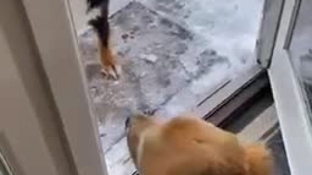 Dog drags other dog outside to play in the snow | BilliaPew